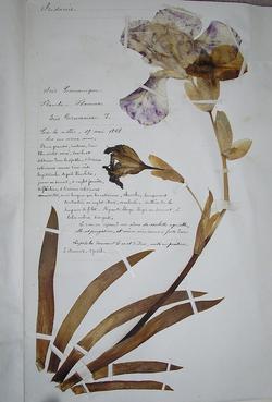 Iris Germanique. Planche d'herbier de Hyppolite Angélique Baudin